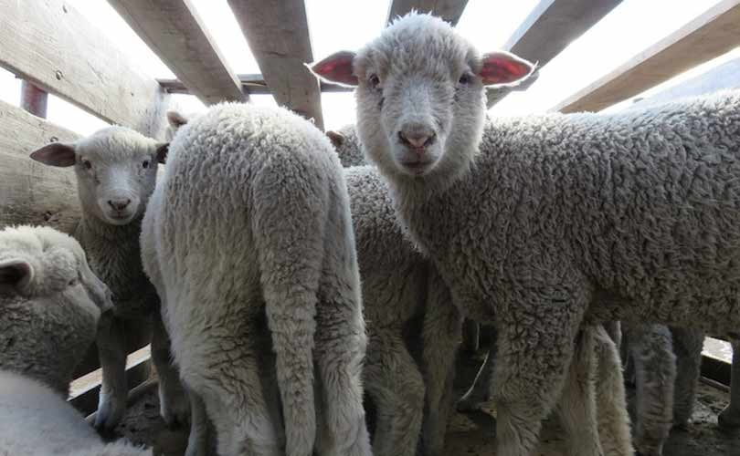 Patagonia cuts ties with wool supplier Ovis 21 following PETA exposé