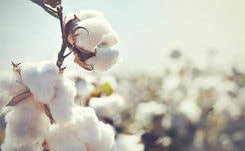 C&A remains the world's largest user of certified organic cotton