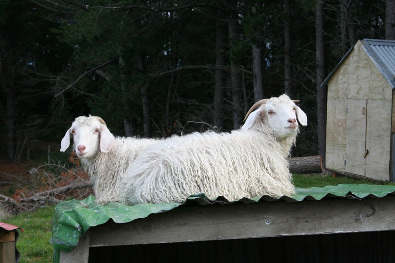 South African mohair industry reacts to retailers' mohair ban