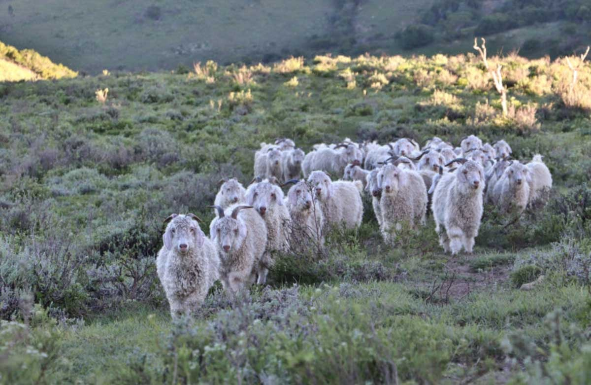 Textile Exchange releases new Responsible Mohair Standard